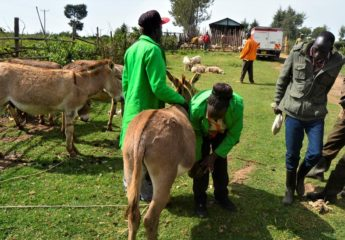 (Animal Welfare)Mrs Purity demonstrating hoof picking and cleaning of donkey's hooves to donkey owner