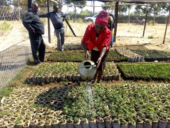 Ann Nyambura of Muthuri group watering trees in the nursery